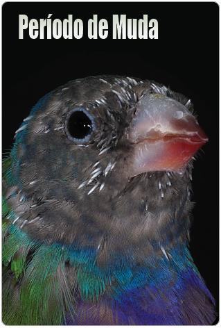 Qué debes dar a tus pájaros durante la muda?